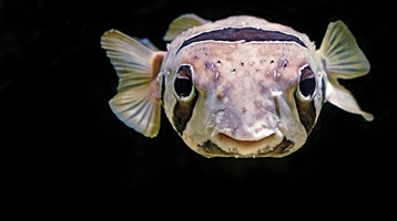 Pufferfish causes an unexpected risk to shellfish in Europe