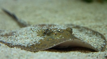 Sharks, skates and rays – back from the brink?